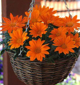 GAZANIA NEW DAY® CLEAR ORANGE