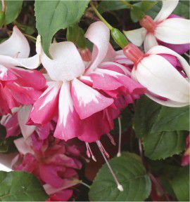 FUCHSIA GEANT FLYING SCOTSMAN