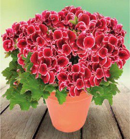 PELARGONIUM ARISTO® RED BEAUTY