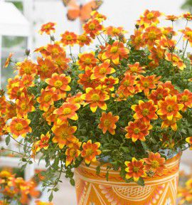 BIDENS BEEDANCE® PAINTED YELLOW