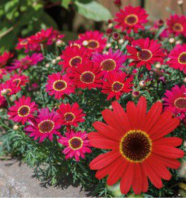 ANTHEMIS GRANDAISY® RED