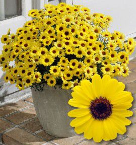 ANTHEMIS GRANDAISY® YELLOW