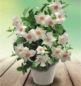 MANDEVILLA DIAMANTINA® TOURMALINE® WHITE WITH PINK EYE