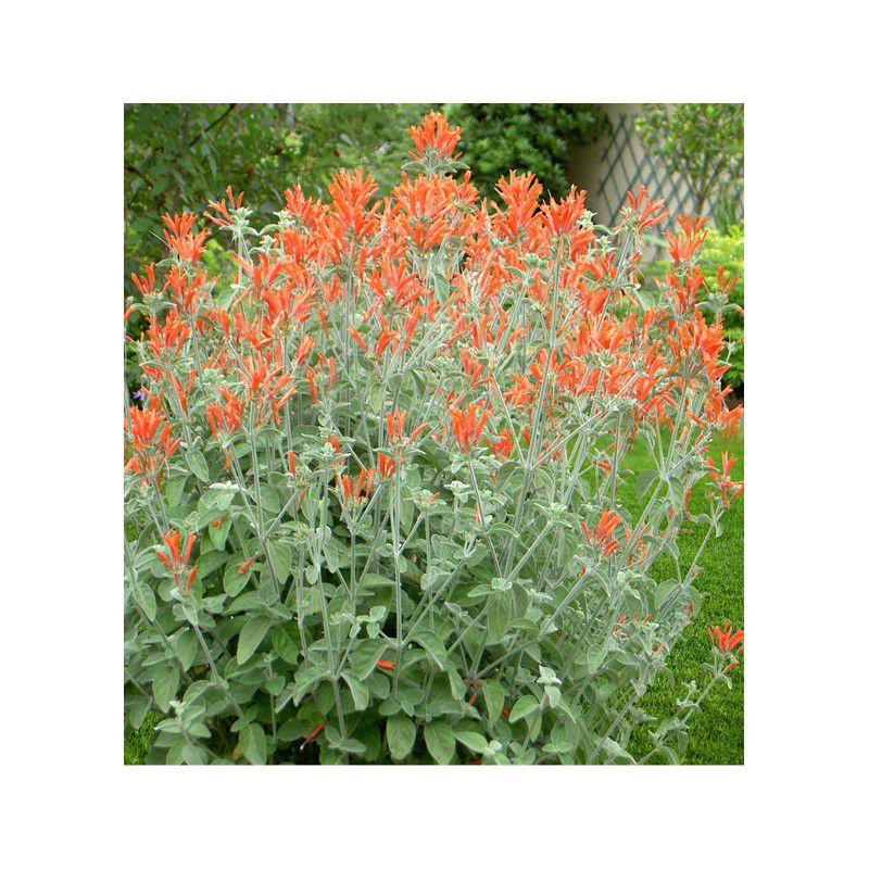Jacobinia suberecta plante en ligne for Plantes en ligne