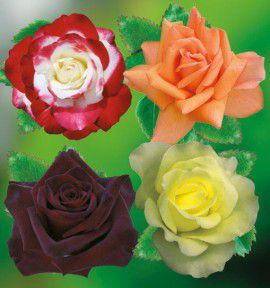 COLIBRIANT 4 ROSIERS BUISSONS : 1 BLACK BACCARA + 1 DOUBLE DELIGHT + 1 BEAUTE + 1 AMATSU OTOME