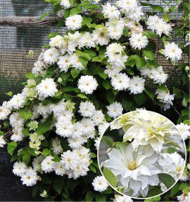 CLEMATITE MARIE CURIE®