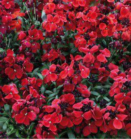 GIROFLEE SUGAR RED RUSH