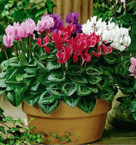 MINI CYCLAMENS PASSION® EN MELANGE