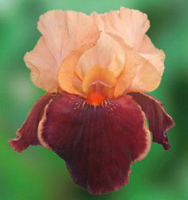 IRIS GERMANICA CIMARRON STRIP