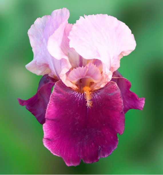 IRIS GERMANICA CAMELOT ROSE