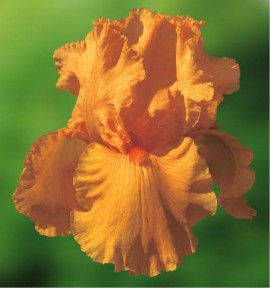 IRIS GERMANICA SKYFIRE