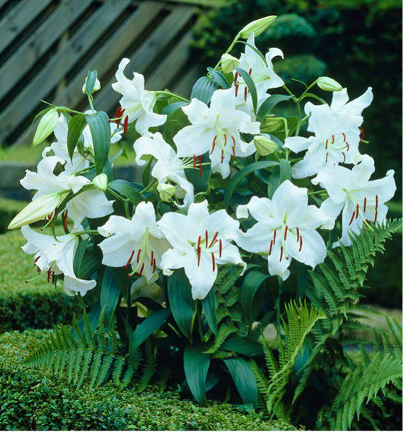 Lis casablanca plante en ligne for Plante en ligne