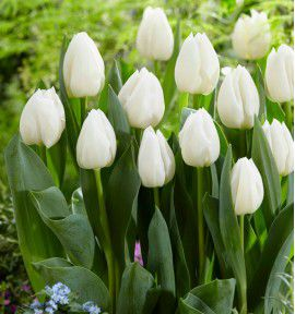 TULIPE SIMPLE HATIVE WHITE PRINCE
