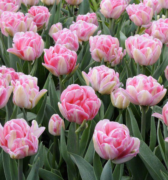 TULIPE DOUBLE HATIVE FOXTROT