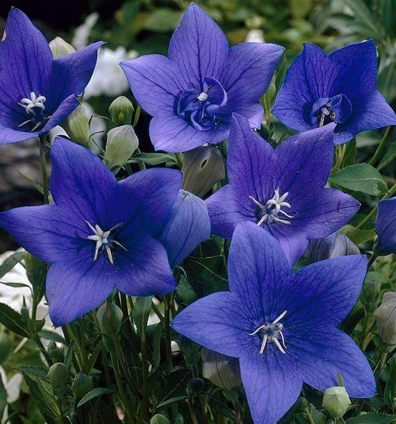 fleurs ballons bleues plante en ligne. Black Bedroom Furniture Sets. Home Design Ideas