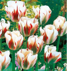 TULIPE VIRIDIFLORA FLAMING SPRING GREEN