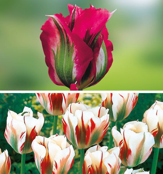 COLIBRIANT 14 TULIPES VIRIDIFLORA : 10 DOLL'S MINUET + 4 FLAMING SPRING GREEN