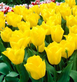 TULIPE TRIOMPHE STRONG GOLD