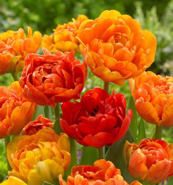 Tulipe a fleurs de pivoines sun lover plante en ligne for Commander des plantes en ligne