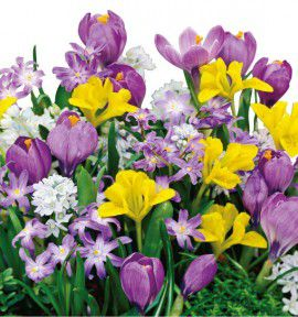 COLLECTION AQUARELLE FIN D'HIVER : 10 CROCUS + 10 IRIS NAINS + 15 PUSCHKINIAS + 15 CHIONODOXAS