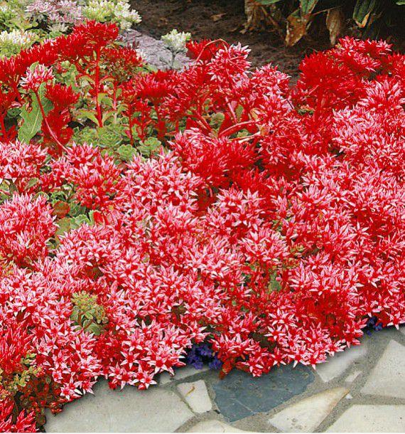 Sedum coccineum plante en ligne for Catalogue de plantes en ligne