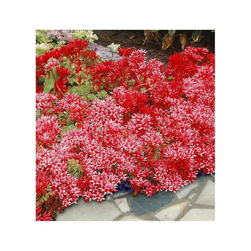 Sedum coccineum plante en ligne for Plantes en ligne