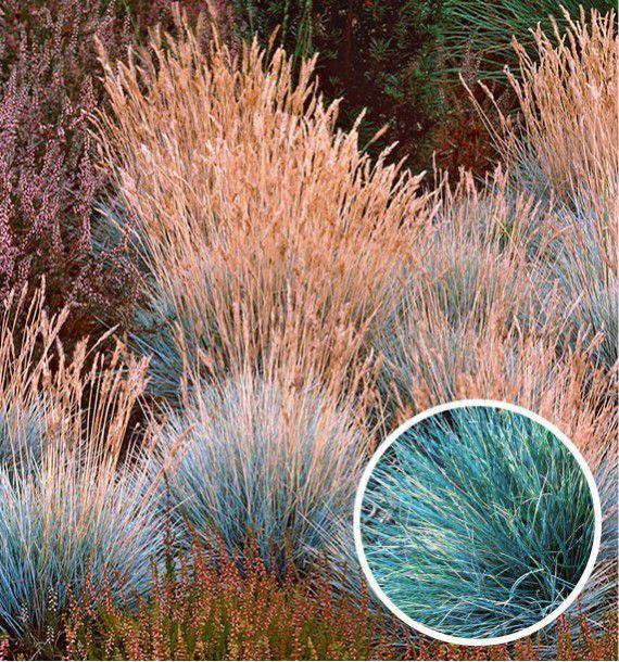 Fetuque blue selection plante en ligne for Plantes en ligne