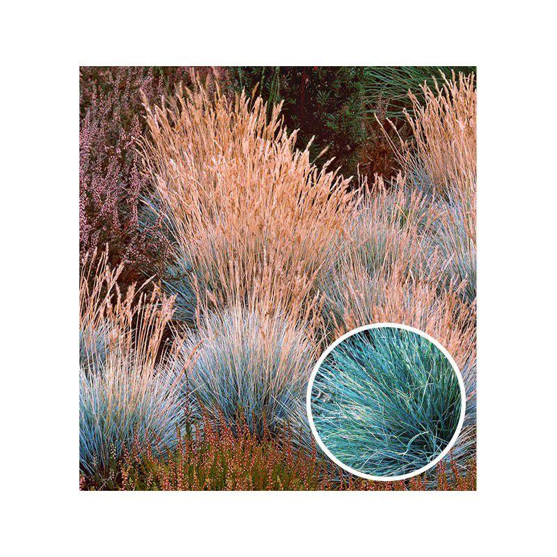 Fetuque blue selection plante en ligne for Plantes en ligne belgique