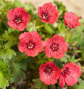 GERANIUM JOLLY® JEWEL SALMON