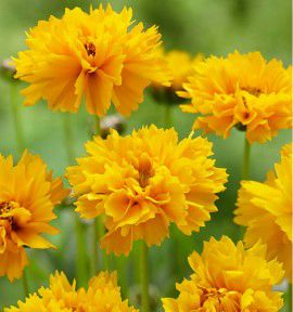 COREOPSIS LOUIS D'OR