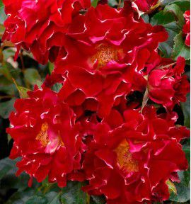 ROSIER A FLEURS FRANGEES RED LADY RUFFLES® Interrufydalred