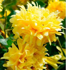 ROSIER A FLEURS FRANGEES GOLDEN LADY RUFFLES® Interrufleeg