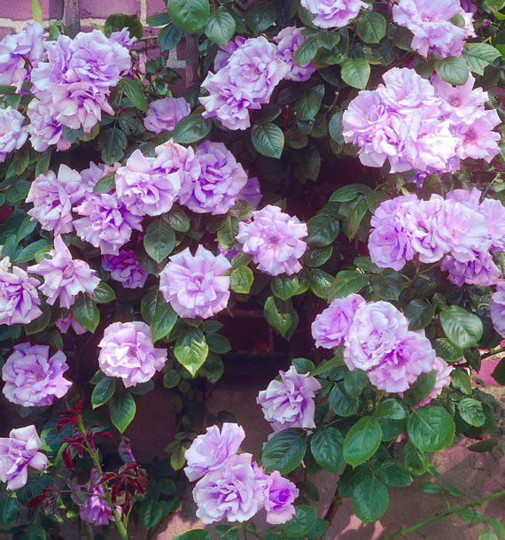 Rosier grimpant indigoletta plante en ligne - Rouille rosier traitement naturel ...