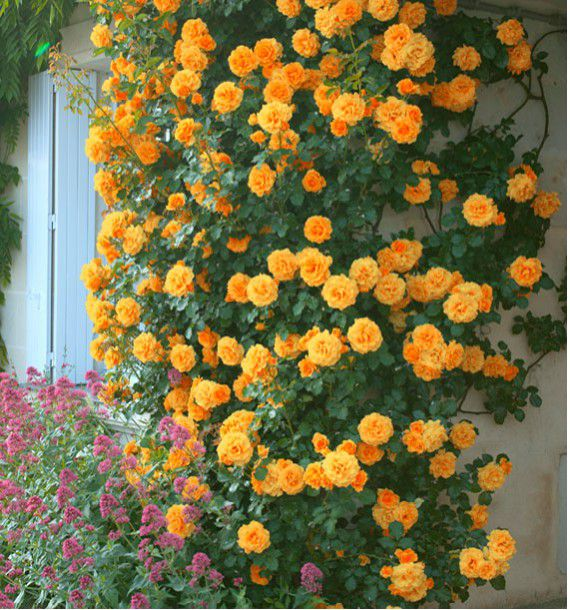 Rosier grimpant metanoia plante en ligne - Rouille rosier traitement naturel ...
