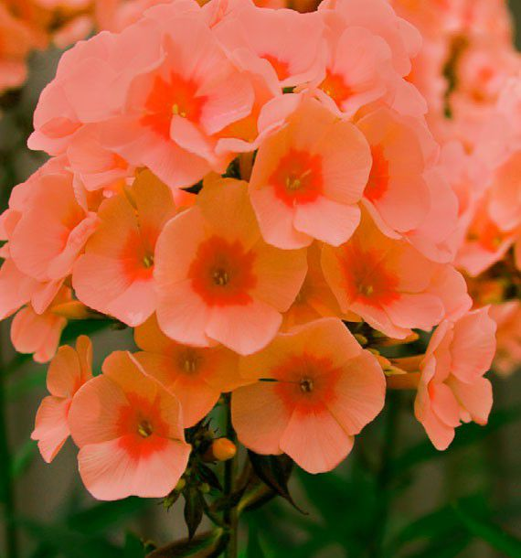 PHLOX PARFUME ORANGE PERFECTION