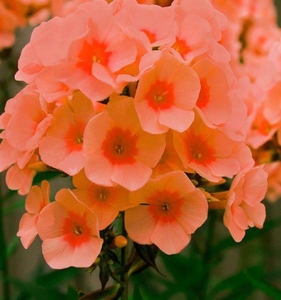 phlox parfume orange perfection plante en ligne. Black Bedroom Furniture Sets. Home Design Ideas