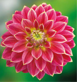 DAHLIA DECORATIF MR OPTIMIST