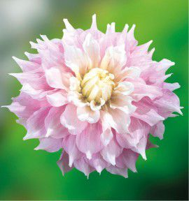 DAHLIA DECORATIF GITTS PERFECTION