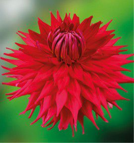 DAHLIA DECORATIF HOLLY HUSTON