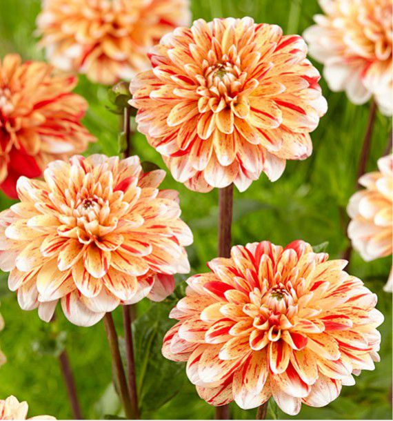 DAHLIA DECORATIF STRIPED NAGANO