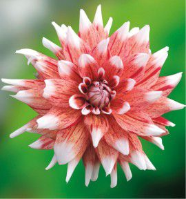 DAHLIA DECORATIF STRIPED DUET
