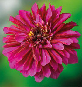 DAHLIA ALVEOLE PURPLE HAZE