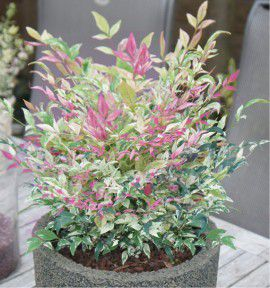 NANDINA DOMESTICA TWILIGHT®