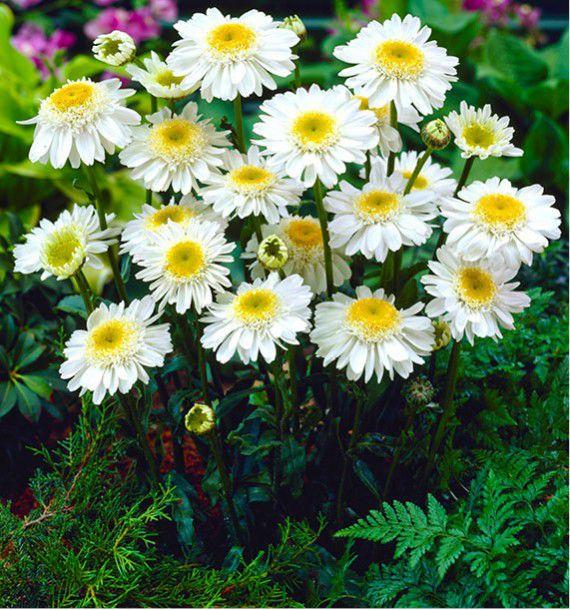 Marguerite 39 sunny side up 39 plante en ligne - Image fleur marguerite ...