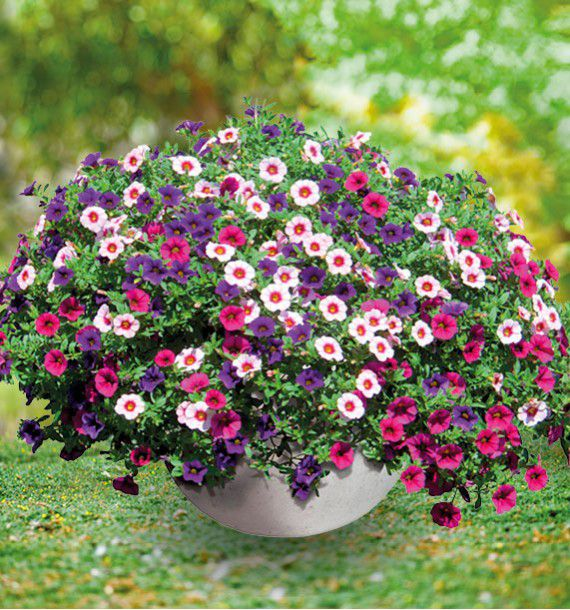 CALIBRACHOA TRIXI® EARLY PASTEL