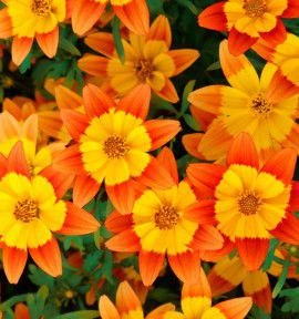 BIDENS BIDY BOOM® ORANGE