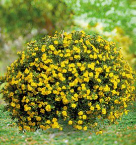 CALIBRACHOA MINI FAMOUS® DOUBLE YELLOW