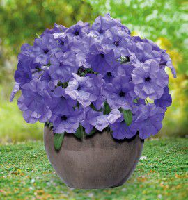 PETUNIA EVENING SCENTSATION F1
