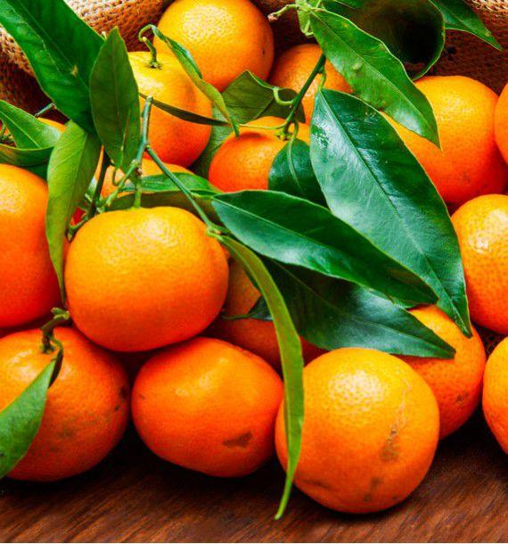 mandarinier satsumas keraji plante en ligne. Black Bedroom Furniture Sets. Home Design Ideas