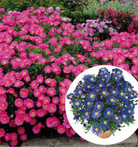 COLIBRIANT 6 ASTERS NAINS : 3 BLUE LAPIS + 3 GRANAT